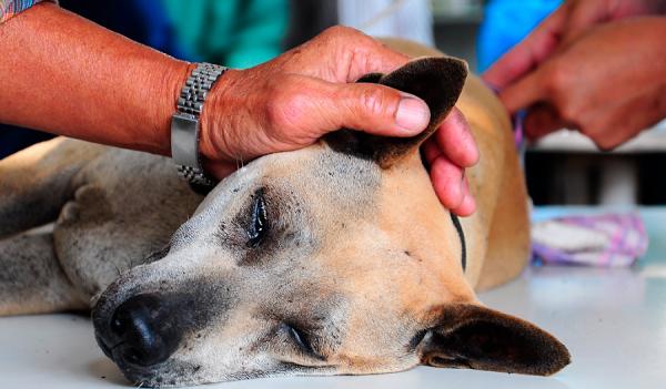 Nhanh chóng đưa chó bị bệnh đến cơ sở thú y, không được tự ý chữa ở nhà